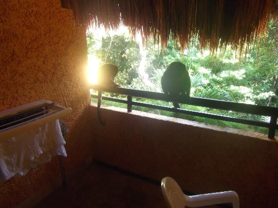 Iberostar Tucan Hotel: Monkeys with a steamed up lense !!
