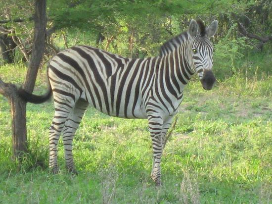 Thornybush Game Lodge: Zebra on a game drive