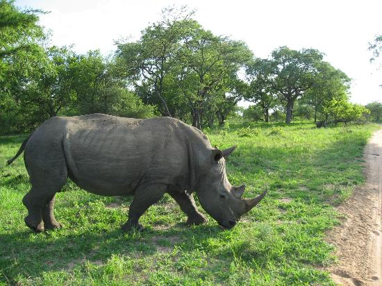 Thornybush Game Lodge: Rhino on a game drive