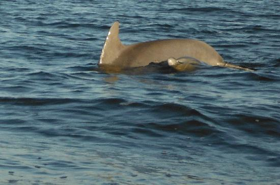 Sanibel Island Lighthouse: Mother & Baby Dolphins- 50 Yards Offshore