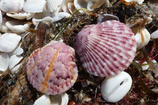 Sanibel Island Lighthouse: Shells on Lighthouse Beach