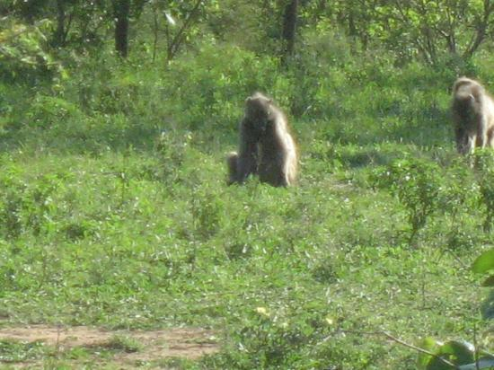 Thornybush Game Lodge: Baboon on game drive