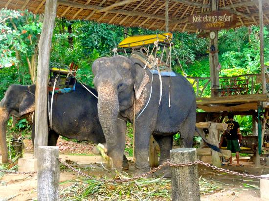 Kok Chang Safari Elephant Trekking: Elefantes antes del viaje