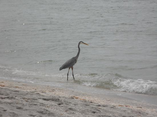 Fort Myers Beach: Wildlife on the Gulf.