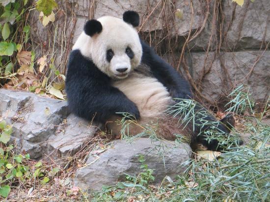 le panda geant du zoo de pekin