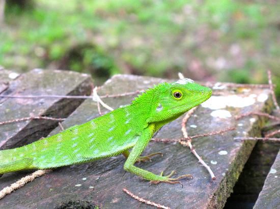 Danum Valley: Green lizard