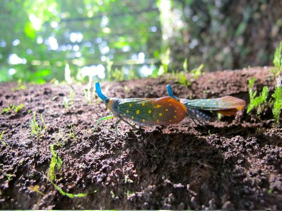 Danum Valley Conservation Area: insect