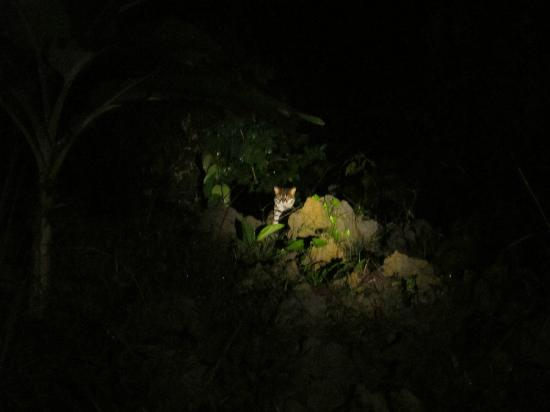 Danum Valley: We were also lucky to see this leopard cat