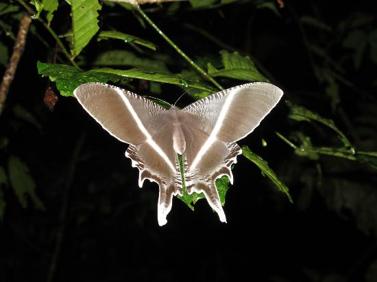 Danum Valley: Large moth