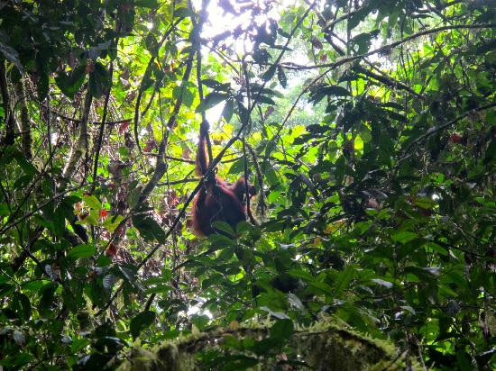 Danum Valley Conservation Area: Linda the orangutan, we were so lucky to se the and 2 others