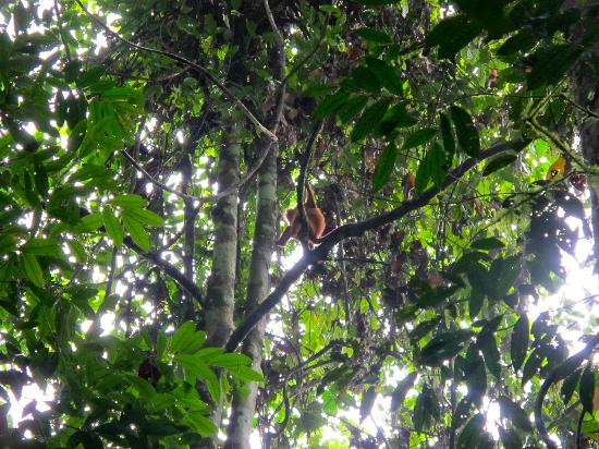 Danum Valley Conservation Area: Red Leaf monkey