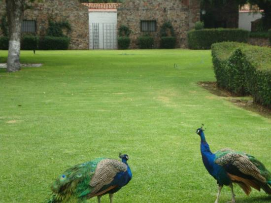 Mision San Gil: Peacocks on grounds