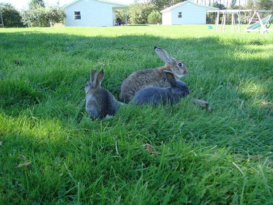 Upper Clements Cottages: A few of our many free roaming bunnies