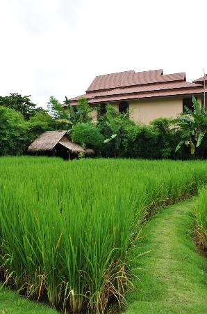 Chompor Lanna: Rice fields
