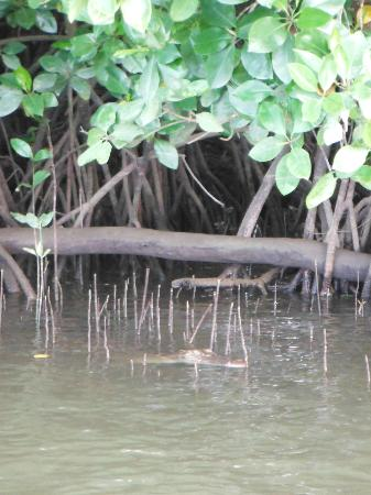Dan Irby's Mangrove Adventures: Croc spotting.