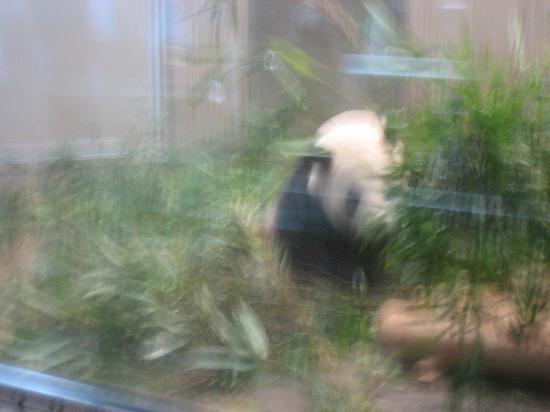 Ueno Zoo: blurry panda