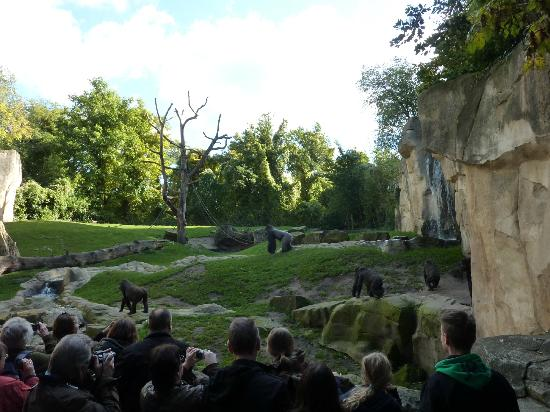 Erlebnis Zoo Hannover: Arrive early for a good view of gorillas at feeding time