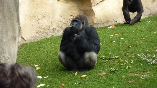 Erlebnis Zoo Hannover: Gorillas were beautiful!