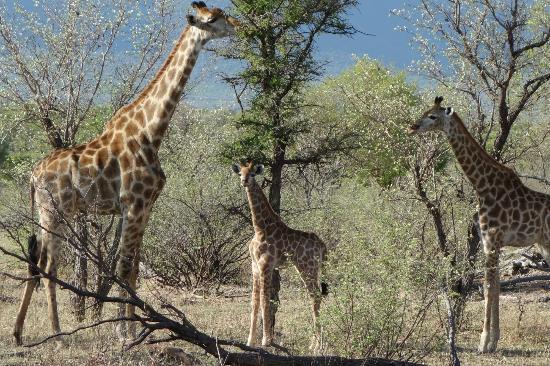 Marataba Safari Lodge: Wildlife mit Giraffen