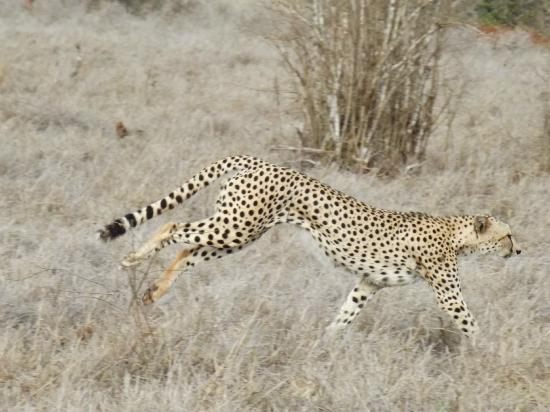 Voyager Beach Resort: Beautiful cheetah on Safari