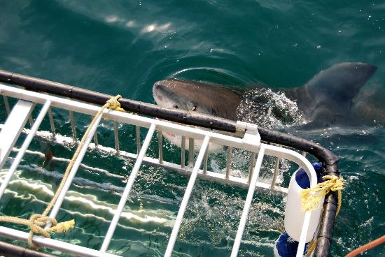 Shark Seekers: Great white shark next to the cage.