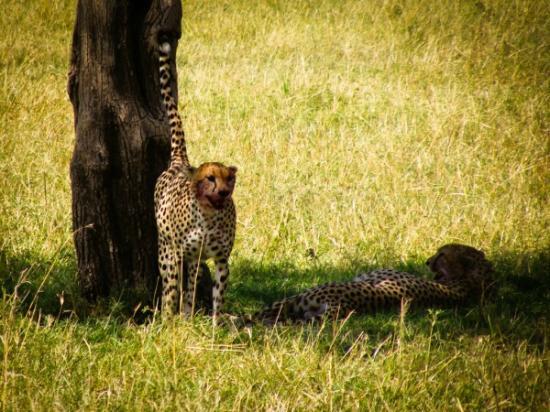 Ashnil Mara Camp: cheetah scenting territory