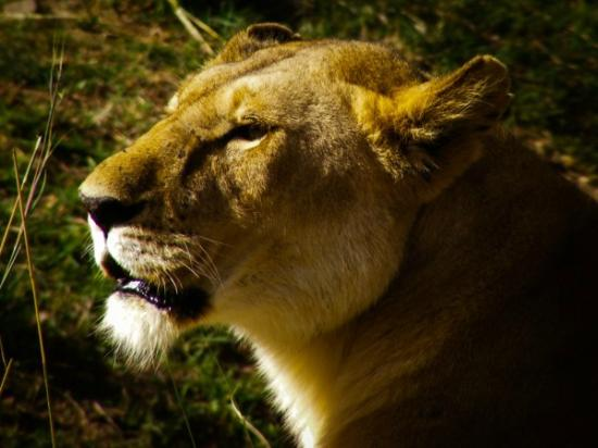 Ashnil Mara Camp: handsome lion
