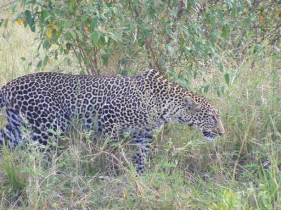 Ashnil Mara Camp: same leopard