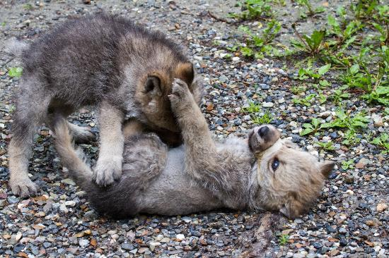 Image result for wolf pups playing