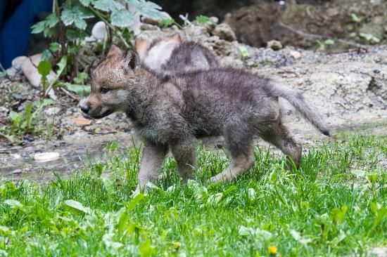 Northern Lights Wildlife Wolf Centre: Very Cute, We Got To Stroke And Play  With