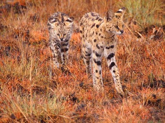 Wilderness Safaris Busanga Bush Camp: A Servel with her kitten