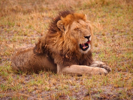 Wilderness Safaris Busanga Bush Camp: One of two lion brothers who patrolled our camp