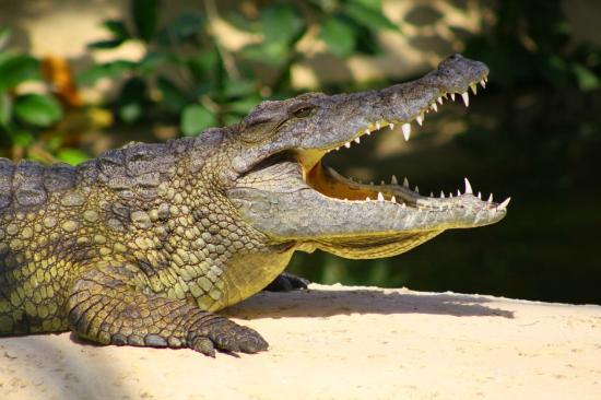 La Planète des Crocodiles: CROCODILE DU NIL