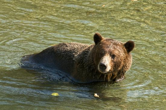 Aboriginal Journeys Wildlife and Adventure Tours: Big Grizzly