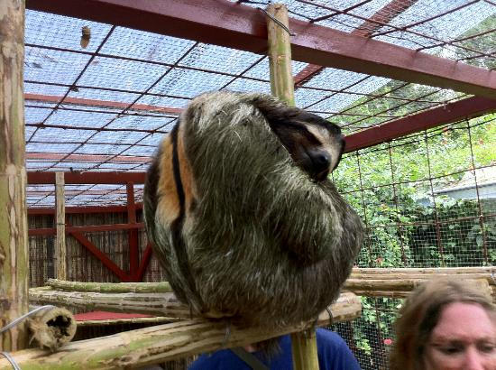 Fundación Jaguar Rescue Center: bigger sloth (can tell the gender by the stripe, I think)