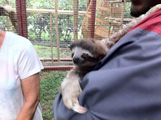 Fundación Jaguar Rescue Center: sweet sloth being held by an employee