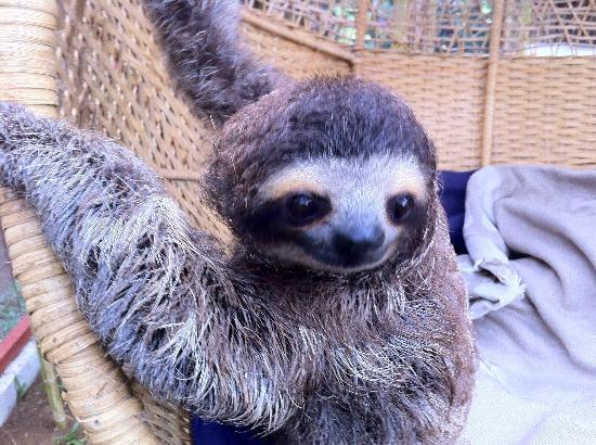Fundación Jaguar Rescue Center: sloth