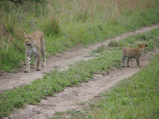 Simbambili Game Lodge: Leopard met puppy aan de wandel