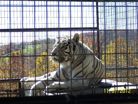 Turpentine Creek Wildlife Refuge: Beautiful White Tiger