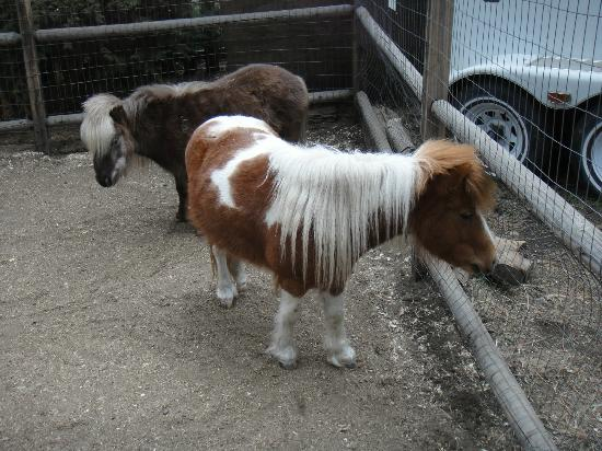Eagle's Nest Bed and Breakfast Lodge: shetland ponies