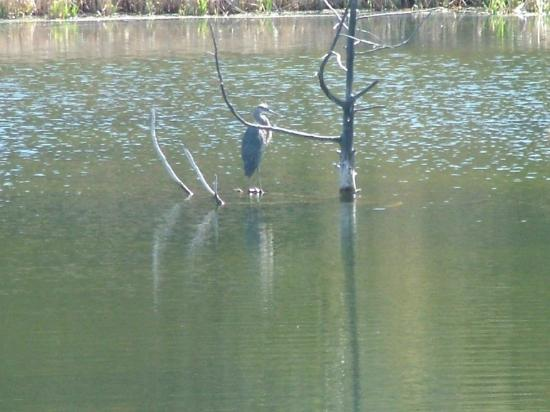 Abode at Willowtail Springs: Heron on the lake