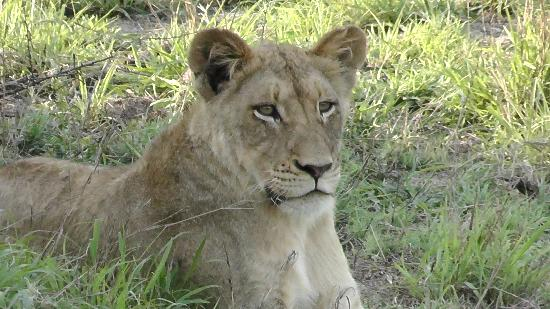 Sabi Sabi Selati Camp: Female Lion