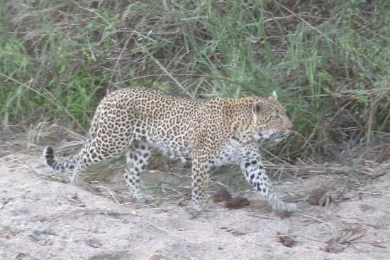 Sabi Sabi Selati Camp: female leopard