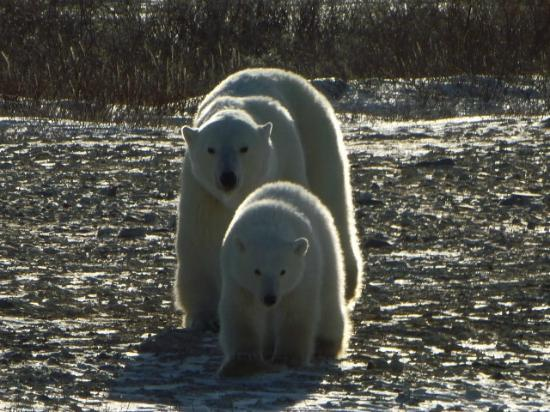 Classic Canadian Tours Polar Bear Safari