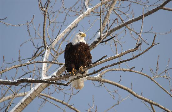 Watch for eagles in Grafton as it is one of 13 hotspots all around Alton.