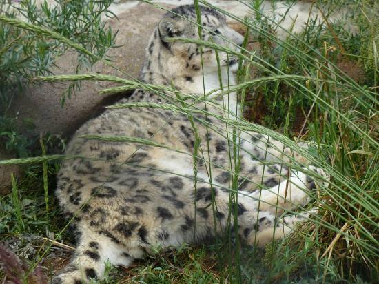 Karakol, Kirguistán: Schneeleopard im NABU-Gelände