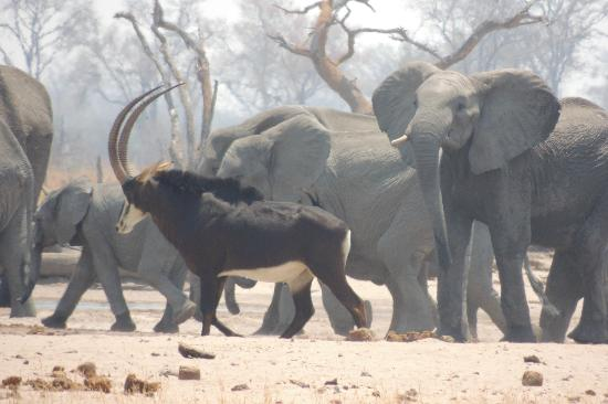 Wilderness Safaris Little Makalolo Camp: sable amongst elephants at a water hole