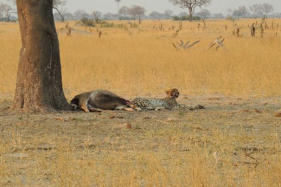 Wilderness Safaris Little Makalolo Camp: cheetah on young kudu kill