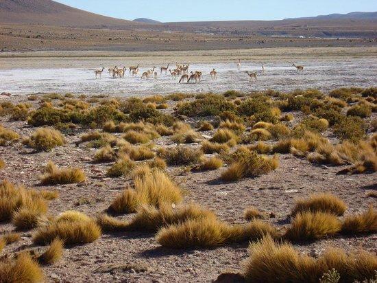 Geyser del Tatio: Guanacos beim Salzschlecken