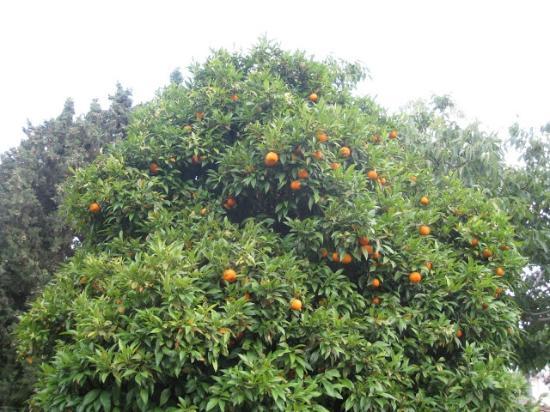 Pension Ecer: Orange Tree in garden at Ecer Pension